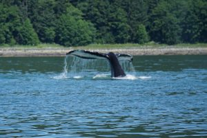 Sony a6000 set to Sports Action to caption the tale action of this whale in Juneau, Alaska! No photography Experience Necessary.